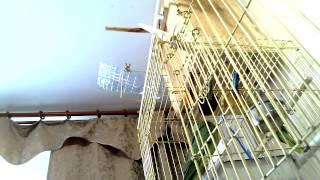 Молодые ожереловые попугаи Крамера 24.05.15 205