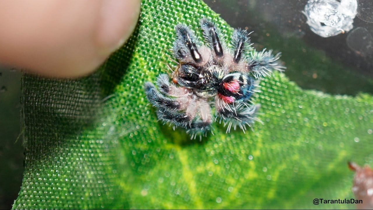 Typhochlaena seladonia (Brazilian jewelled tarantula) feeding