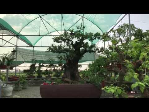 Chia sẻ cách chỉnh sửa 2 cây Tùng la hán dánh trực tại Nhà vườn Phucbonsai