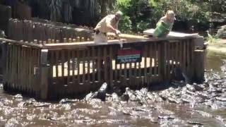 Feeding the Alligators at St. Augustine Alligator Farm