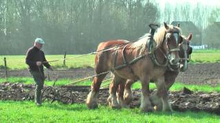 Belgian Draft Horses-ploughing with a special reversible plough