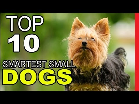 Top 10 Smartest Small Dog Breeds