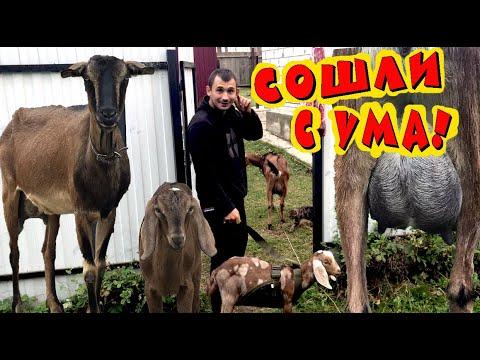 Мы сошли с ума? Поездка за козами длиной в 500 км. Теперь у нас есть молоко! Купили дойную козу!
