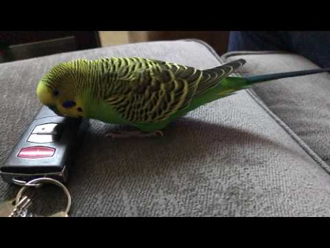 "My parakeet learned the chime the iPhone makes after you say ""Hey Siri"""