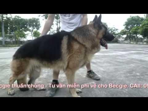 Nhận phối giống chó becgie Đức ( GSD ) .  Bán chó becgie Đức