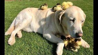 カモの赤ちゃんの母親になったラブラドール犬! イギリスの公園に、9匹...