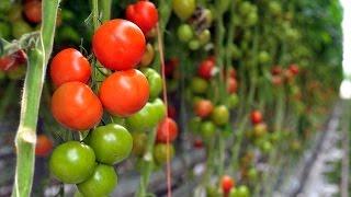 Planet Wissen - Tomaten