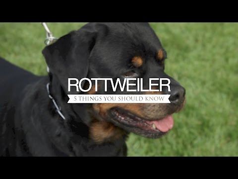 ROTTWEILER FIVE THINGS YOU SHOULD KNOW
