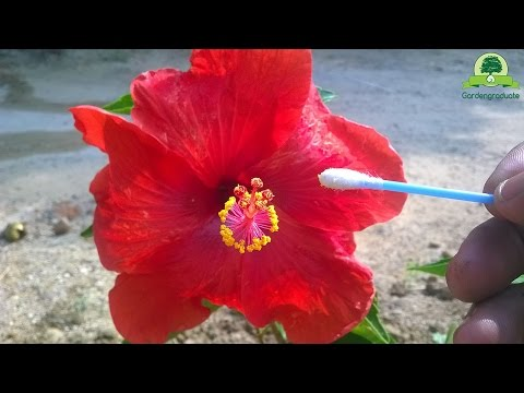 Hibiscus Pollination& seed collecting | part 1 | Hand pollination series #3