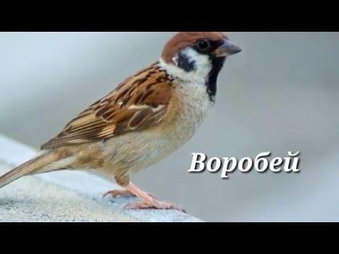 Зяблик, птица Фото