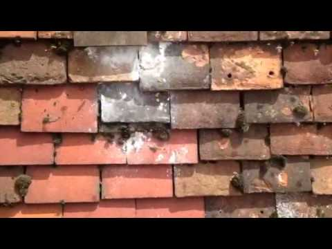 Wasps Under Roof Tiles