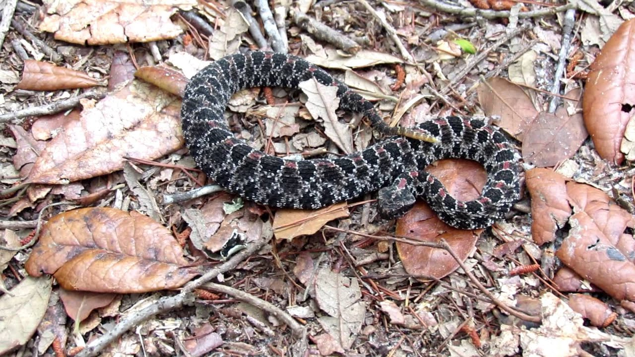 6 Most Dangerous Snakes in Florida | Owlcation