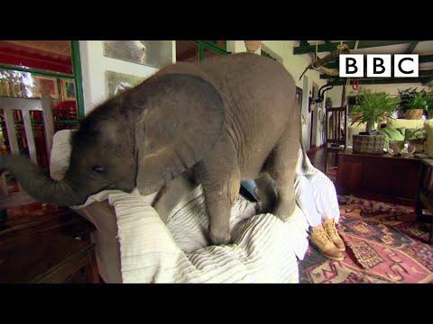 Baby elephant causes havoc at home - BBC