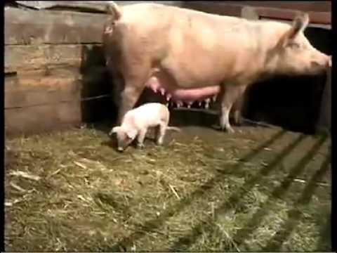 Schwein gehabt Eber