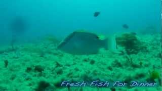 Free Diving: Hogfish getting STONED!