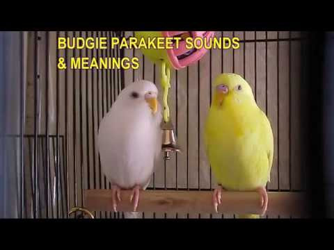 Budgie Parakeet Sounds & Meanings