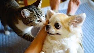 膝の上でスキンシップの猫(おはぎ)とチワワ(チーズ)です。 Subscrib...