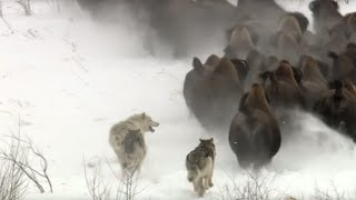 Download Best Wild Animal Chases | Top 5 | BBC Earth Mp3 and Videos