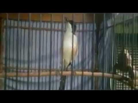 Download Lagu pentet rooll speed tembakan kenari