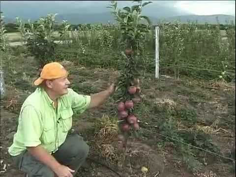 Apple orchards of Kazakhstan - яблоневые сады