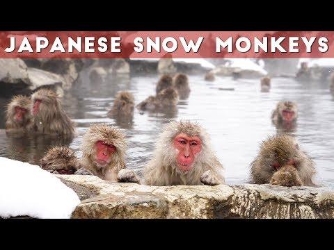 Snow Monkeys of Japan   Jigokudani Snow Monkey Park