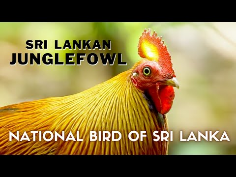 Sri Lankan Junglefowl (2014) - National Bird Of Sri Lanka