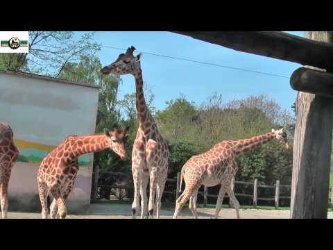 Жирафы в неволе