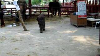 Running and Farting......Only a Baby Elephant Could Make It SO Funny and Cute!