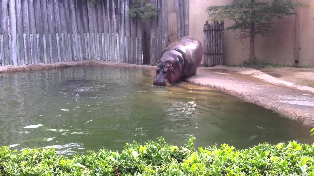 hippo walking to its pool fort worth zoo youtube