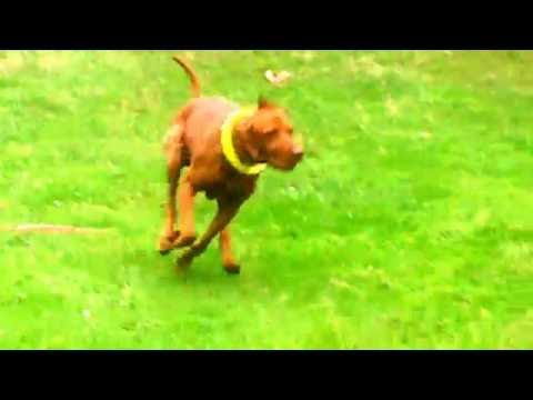 Hungarian Vizsla Archie finds a Wood Pigeon but dopey me thinks its a teddy!.