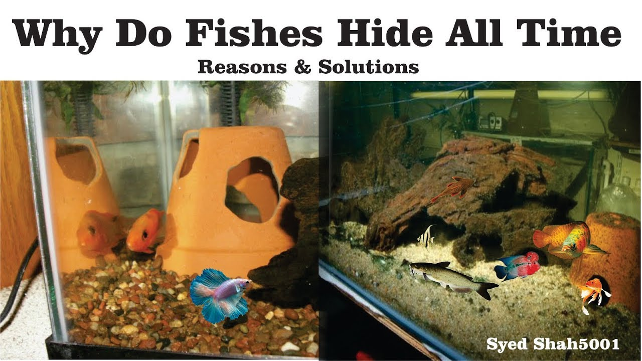 Why fishes hide all time in Aquarium reasons and solutions Hindi Urdu