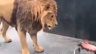 Very funny video lion talking