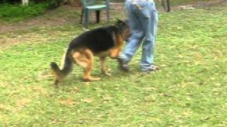 Florida Dog Academy - Leash Work