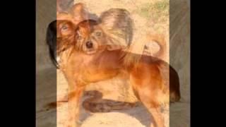 Смешные щенки и собаки породы Русский той терьер