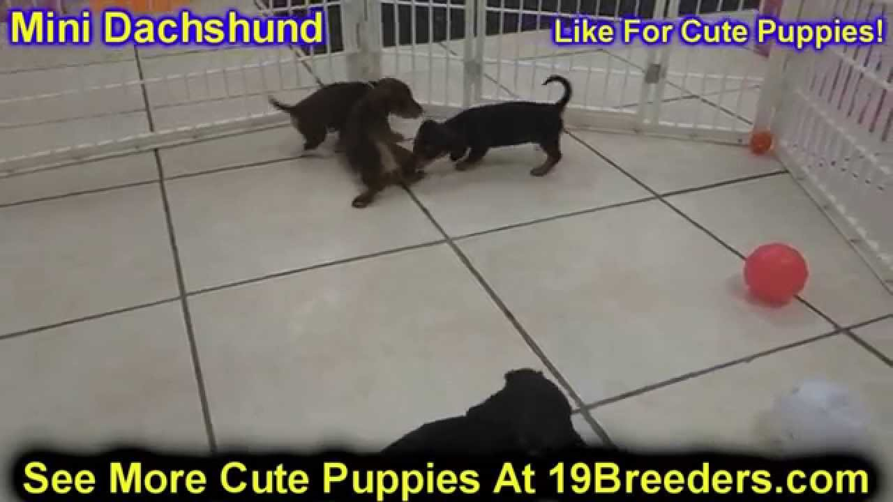 Miniature Dachshund Puppies Dogs For Sale In Huntington County