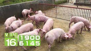 Giá lợn hơi miền Nam đột ngột giảm do lợn nhập? | VTC16