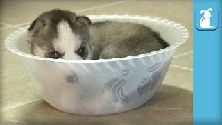 Tiny Husky Puppy Can't Get Out Of Tiny Bowl - Puppy Love