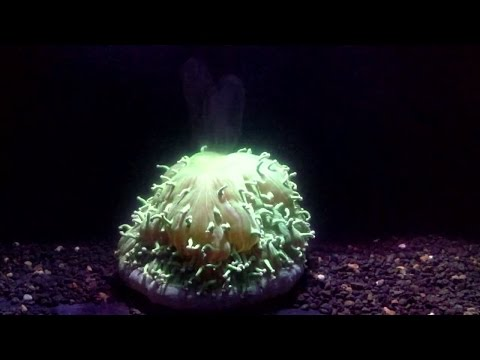 Coral bleaching caused by heating water (time-lapse)