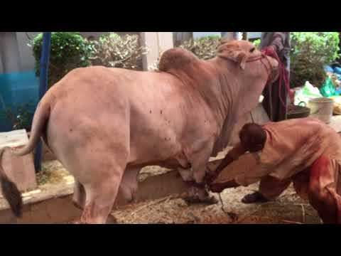 Dangerous Bull Qurbani 2017 Hamza Hanif