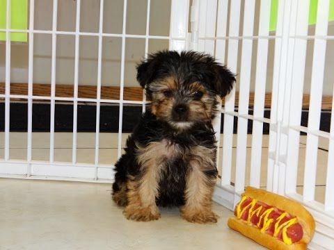 Yorkshire Terrier Yorkie Puppies For Sale In San Jose California