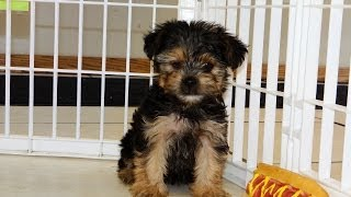 Yorkshire Terrier, Puppies, For, Sale, In, San Jose, California, Ca, Ontario, Santa Rosa, Rancho Cuc
