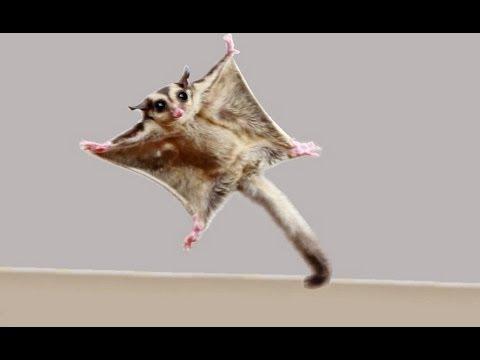 ★TOP 10 Sugar Glider Flights!★