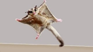 ★TOP 10 Sugar Glider Flights!★