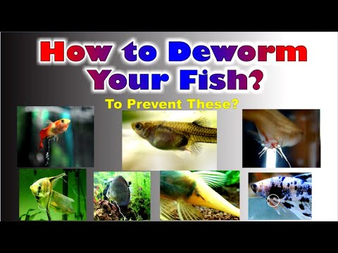 How To Deworm Guppy Fish!