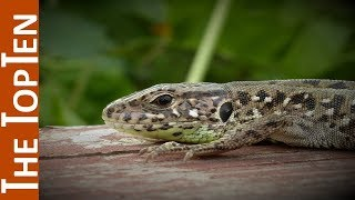 The Top Ten Coolest Lizards In The World