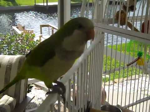 1 Jose The Best Talking Quaker Parrot in the World (11 months)