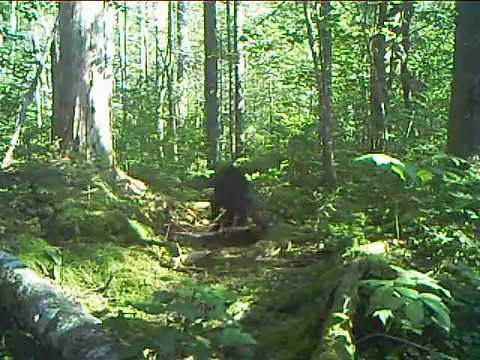 Fisher Cat In New Hampshire