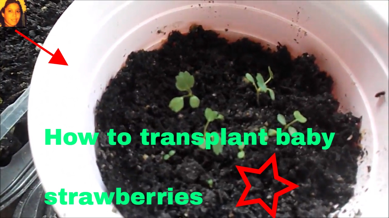 How To Transplant Baby Strawberries