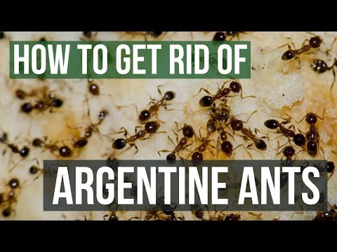 How to Get Rid of Argentine Ants (4 Easy Steps)