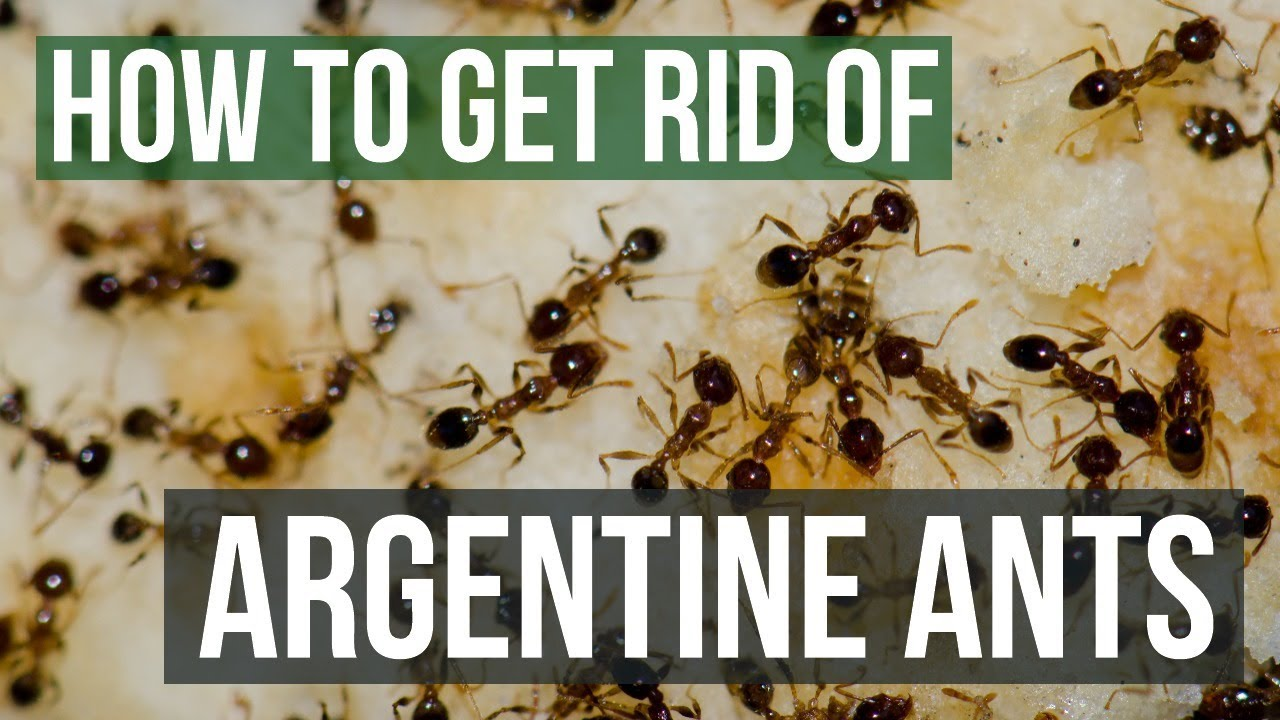 How to Get Rid of Argentine Ants (4 Easy Steps) - YouTube